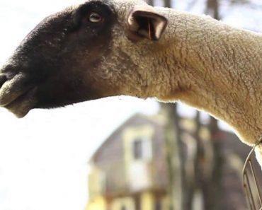 Cabras Têm Comportamentos Estranhos e Gritam Como Os Humanos 8