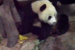 Panda Desavergonhado Faz Xixi e Cocó Em Cima De Outro Panda Que Estava a Dormir 8