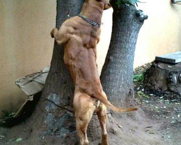 Musculado Pitbull Exibe o Seu Intimidante Físico 2