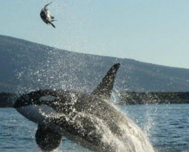 Turistas São Surpreendidos Quando Orca Atira Tartaruga Gigante Ao Ar 2