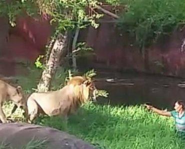 Leões Não Têm Vontade De Atacar Homem Alcoolizado Que Invadiu Recinto Para Lhes Dar Aperto De Mão 8