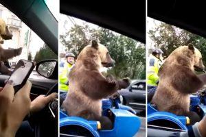 Urso é Filmado a Buzinar Enquanto Espera Na Fila de Trânsito 10