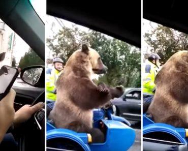 Urso é Filmado a Buzinar Enquanto Espera Na Fila de Trânsito 4