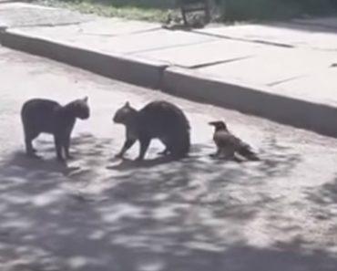 Corvo Apaziguador Tenta Travar Luta Entre Dois Gatos 2
