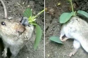 Agricultor Encontra Rato Vivo Com Planta a Crescer No Pescoço 7