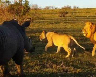 Momento de Acasalamento Entre Leões Interrompido Por Desagradado Rinoceronte 5