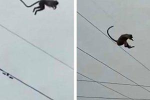 Macaco Faz Impressionante Salto Do Topo De Torre De Alta Tensão Com 50 Metros De Altura 6