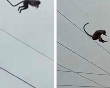 Macaco Faz Impressionante Salto Do Topo De Torre De Alta Tensão Com 50 Metros De Altura 3