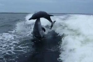 Golfinhos Sofrem Colisão Acidental Ao Fazerem Mergulho Ao Mesmo Tempo 14