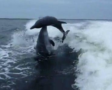 Golfinhos Sofrem Colisão Acidental Ao Fazerem Mergulho Ao Mesmo Tempo 6