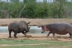 Mãe Hipopótamo Mostra a Rinoceronte Quem é Que Manda 10