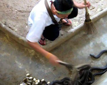 Homem Destemido Faz Limpeza a Recinto De Cobras 2