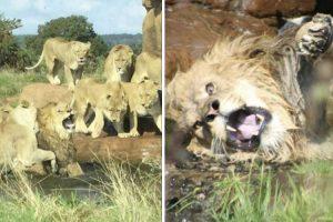 9 Leoas Unem-se Para Atacar Leão 9