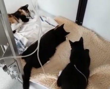 Para Poupar Dinheiro Dono Dá Antiparasitário Para Cães De Raça Grande a 6 Gatos e Acaba Por Envenená-los 2