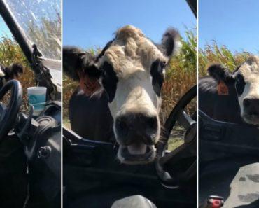 Vaca Corre Com Tratador De Gado Depois Deste Tentar Colocar Marcador Na Sua Cria 1