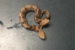 Cobra De Duas Cabeças Encontrada Nos Estados Unidos 7