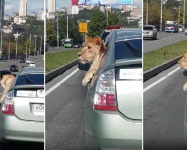 Leão Passeia De Carro Com Os Donos Em Pleno Centro De Uma Cidade Russa 4