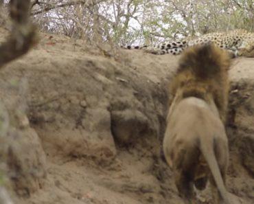 Homem Filma Leão a Assustar Leopardo Dorminhoco Na África do Sul 2