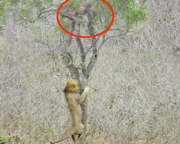 Leão Sobe Árvore Para Tentar Roubar a Presa De Um Leopardo 2