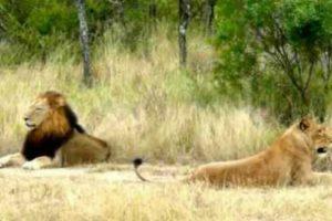 Leoa é Totalmente Ignorada Por Leão Mesmo Esforçando-se Em Mostrar-se Disponível Para Acasalar 8