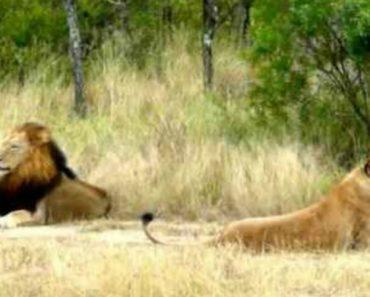 Leoa é Totalmente Ignorada Por Leão Mesmo Esforçando-se Em Mostrar-se Disponível Para Acasalar 6