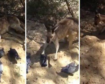 Pombos Insistem Em Incomodar Canguru Até Que Ele Toma Uma Atitude 6