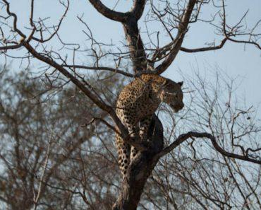 Leopardo Faz Espetacular Salto Para Apanhar Macaco No Topo Da Árvore 1