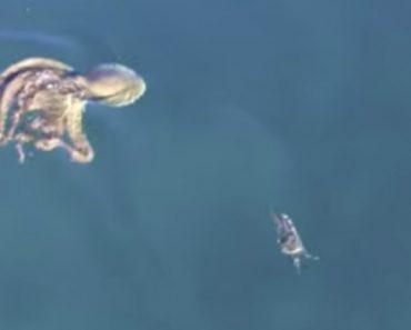 Caranguejo Tenta a Todo o Custo Escapar De Ataque De Polvo Esfomeado 6