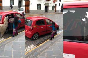 Lama Apanha Táxi Em Mais Um Dia Normal No Peru 10