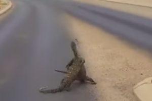 Luta Entre Lagartos Gigantes Fecha Estrada Na Austrália 9