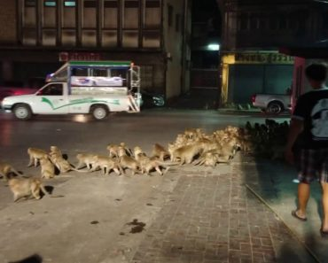 Rua Invadida Por Dezenas De Macacos Assustados Com o Barulho Do Fogo-de-artifício 7