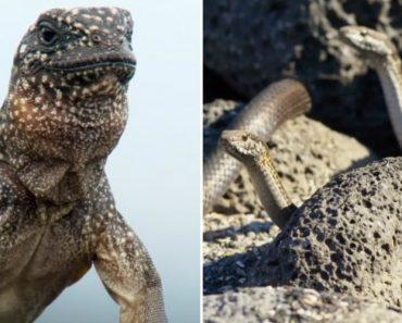 A Fuga Espetacular e Quase Impossível De Uma Iguana Ao Ataque De Várias Cobras 2