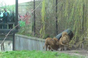 Leão Fica Com a Cabeça Presa Num Barril Em Jardim Zoológico 9