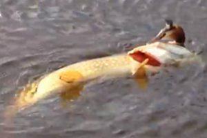 Com Este Peixe Nem As Aves Estão a Salvo 9