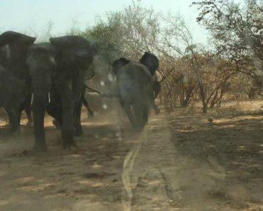 Elefante Persegue e Assusta Turistas Em Parque Natural 3