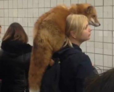 Passageira Espera Pela Chegada Do Metro Com Raposa De Estimação Em Cima Do Ombro 8