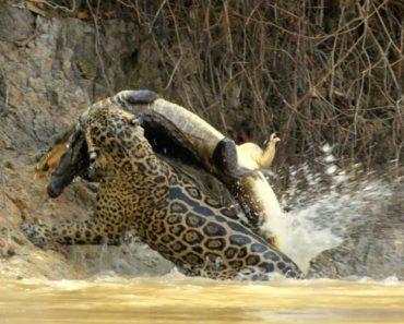 Imagens Revelam o Impressionante Ataque Furtivo De Um Jaguar a Um Jacaré 4