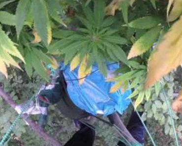 Homem Cria Plantação De Marijuana Em Local Muito Improvável 3