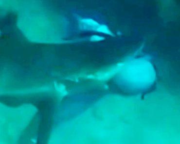 Tubarão Morde Cabeça De Mergulhador Durante Pesca Submarina 3