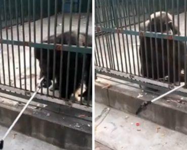 Chimpanzé Devolve Pau De Selfie a Visitante De Zoo Após Ter Sido Tirado Por Outro Chimpanzé 7