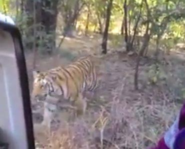 Grupo De Visitantes Vive Momento Intenso Quando Tigre Se Aproxima Do Seu Veículo Aberto 4