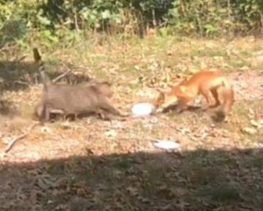 Raposa é Atacada Por Gato Após Tentar Roubar-lhe a Comida 2