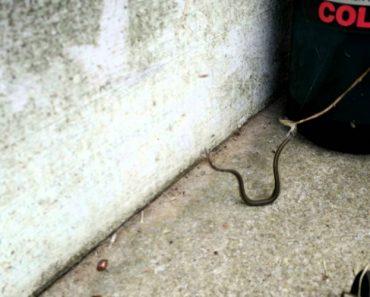 Cobra Perde Batalha Com Pequena Aranha Depois De Ficar Presa Na Sua Teia 2