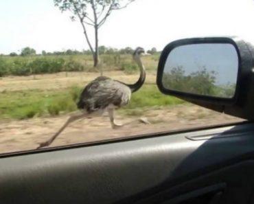 Avestruz Faz Corrida Com Carro a 50 Km/H e Ainda o Ultrapassa 8