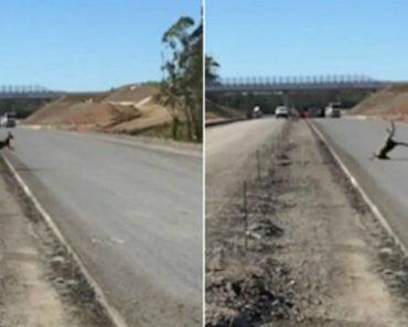 Canguru Erra Nos Cálculos e Falha Salto Ao Tentar Ir Para Estrada Em Obras 6