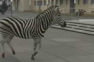 """Zebras Em Fuga Obrigam a """"Safari"""" Em Cidade Alemã 18"""