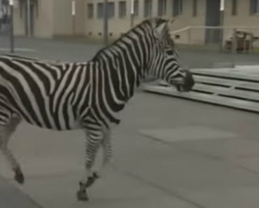 """Zebras Em Fuga Obrigam a """"Safari"""" Em Cidade Alemã 8"""