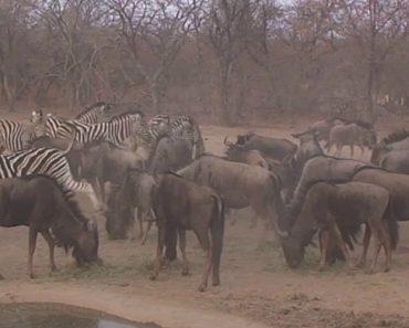 Zebra Deixa Gnu Completamente KO 2