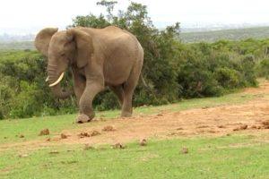 Impaciente Elefante Chuta Tartaruga Por Estar Frustrado Com a Sua Lentidão 9