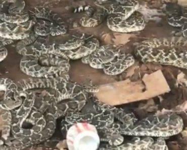 Homem Descobre Ninho De Cobras Debaixo Da Sua Cabana 11